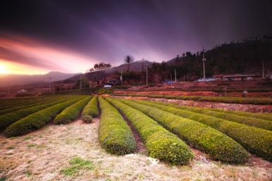 The lush tea fields of Boseong occupy about 10.6 square kilometres