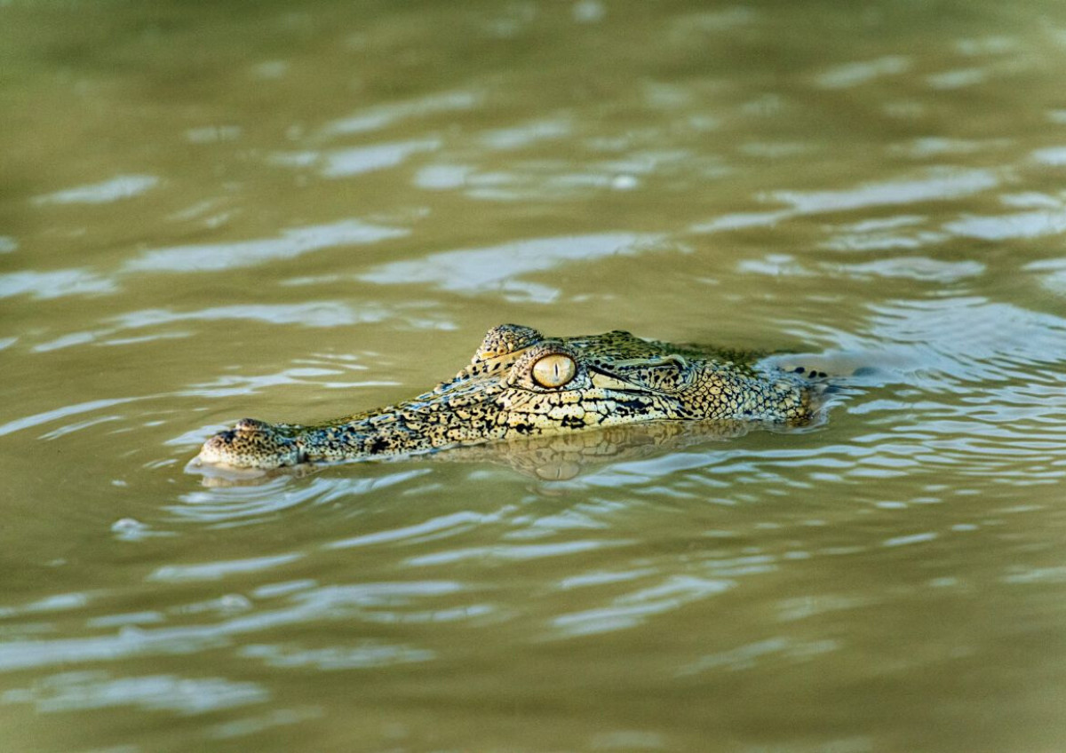 A lurking crocodile in the Kinabatangan River